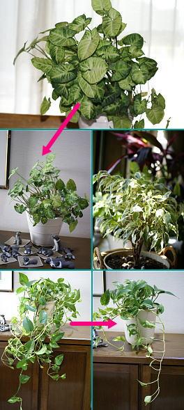 0831-3観葉植物剪定