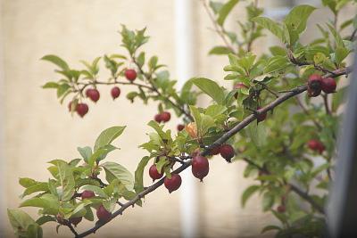 1022-13姫リンゴ
