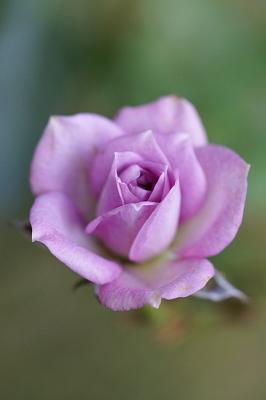 1022-8ミニバラ紫