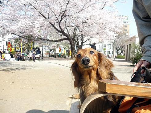 ネスケと桜