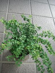 ロニセラ寄せ植え