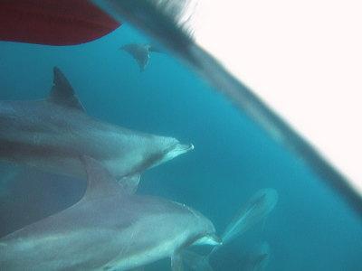 半水面のイルカ