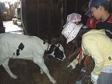 080726酪農体験