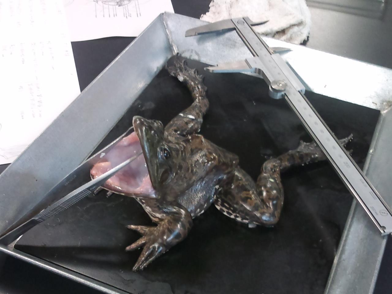カエルの歯科検診