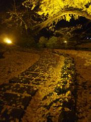 小国町の下城の大イチョウのライトアップ。