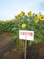 ヒマワリが満開!嘉島町のひまわり畑♪