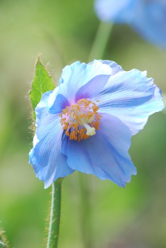 bluepoppy4-13.jpg
