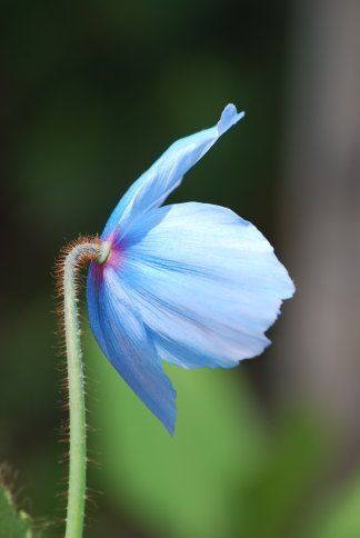 bluepoppy4-15.jpg
