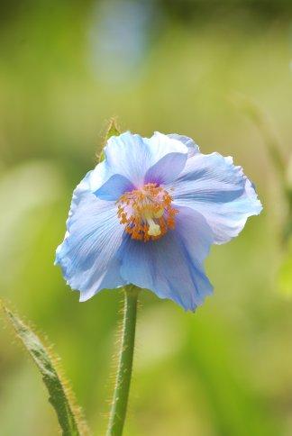 bluepoppy4-2.jpg