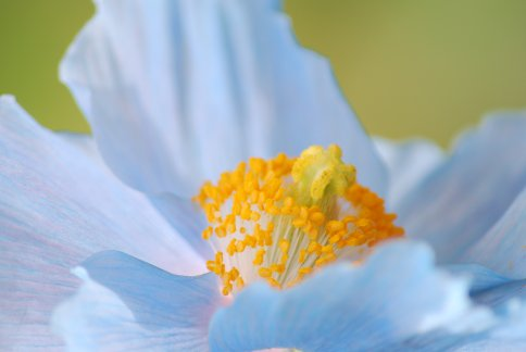 bluepoppy4-32.jpg