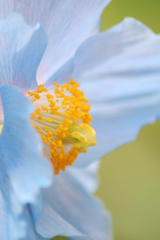 bluepoppy4-33.jpg
