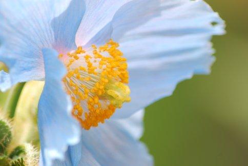 bluepoppy4-34.jpg