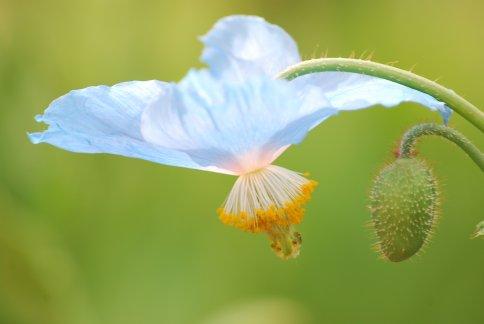 bluepoppy4-35.jpg