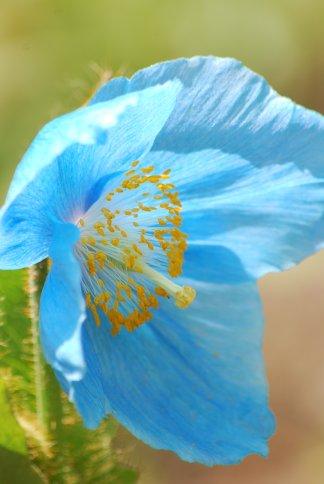 bluepoppy4-46.jpg