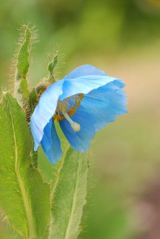 bluepoppy4-6.jpg