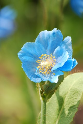 bluepoppy4-8.jpg
