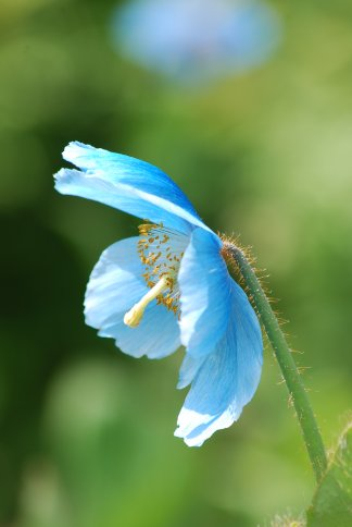 bluepoppy4-9.jpg