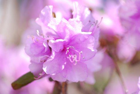 tsutsuji4-10.jpg