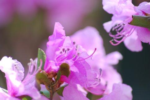 tsutsuji4-15.jpg