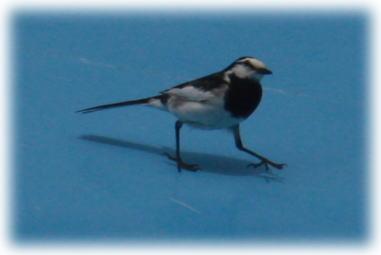 やたらと歩くのが速い鳥