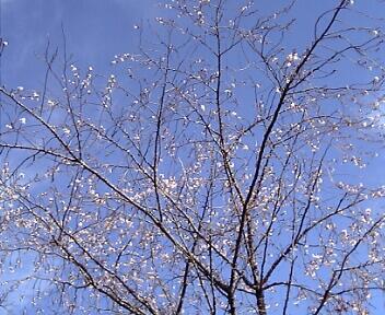 冬の桜『ジュウガツザクラ』(箱根・強羅公園)