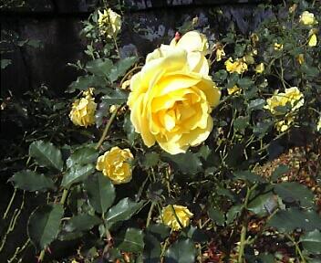 黄色いバラ(箱根・強羅公園)