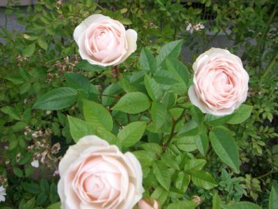 コルデスのバラ