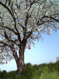 0410桜2.jpg