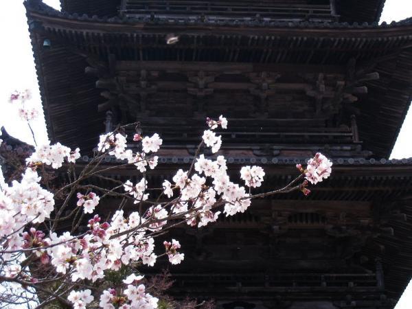 備中国分寺五重塔と桜・その3(by IXY DIGITAL 910IS)