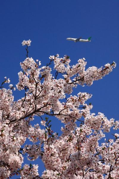 JAL B777-246 JL110&桜@瑞ヶ池公園(by 40D with SIGMA18-50/2.8EX)