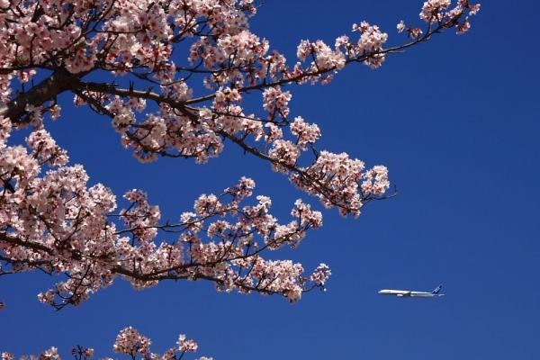 ANA B777-381 NH20&桜@瑞ヶ池公園(by 40D with SIGMA18-50/2.8EX)