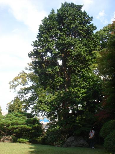 nehangunjo7417 庭の大木
