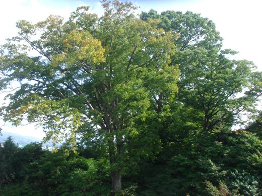 nehangunjo7430 庭の大木