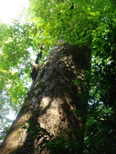 nehangunjo7448 樹