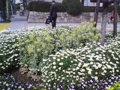 葉ボタンの花1