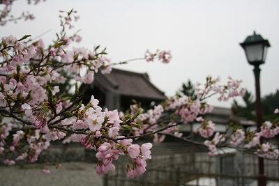南門前小彼岸桜