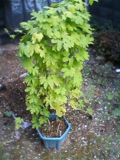 これは何の鉢植えでしょう。