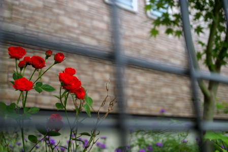柵の中のバラ