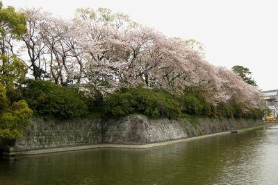 駿府公園の桜。