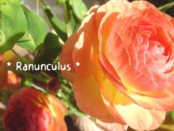 20080304Ranunculus.jpg
