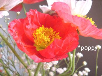 20080322poppy.jpg