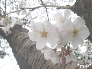 20080331chidori3.jpg