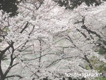 20080331chidori5.jpg