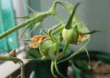 脇芽成長2