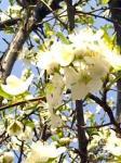 李(すもも)の花
