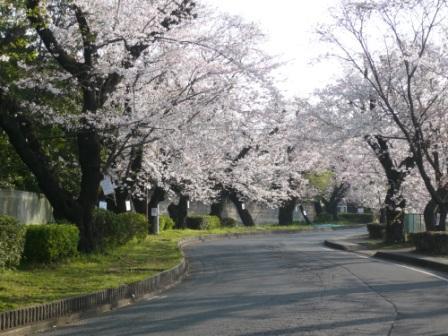 桜 2009.4.4