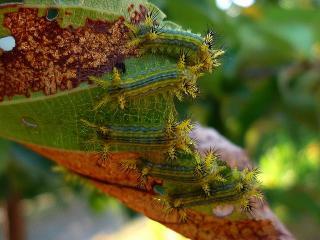 イラガの何か?の幼虫