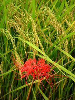 田んぼで咲く彼岸花