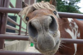 デカ鼻の馬
