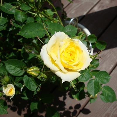 黄色のミニバラも咲きました
